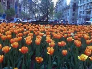 Jennifer's tulips